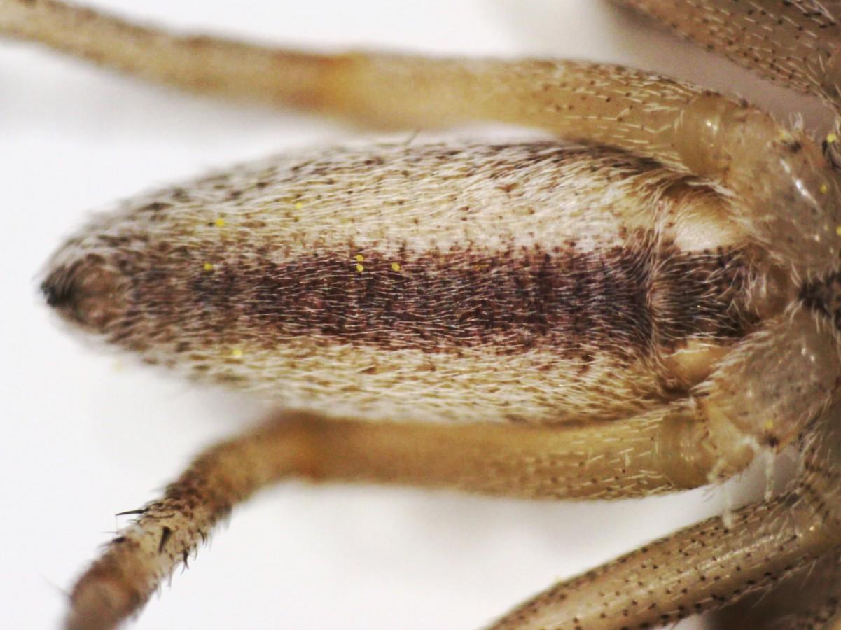 Laufspinne Tibellus oblongus