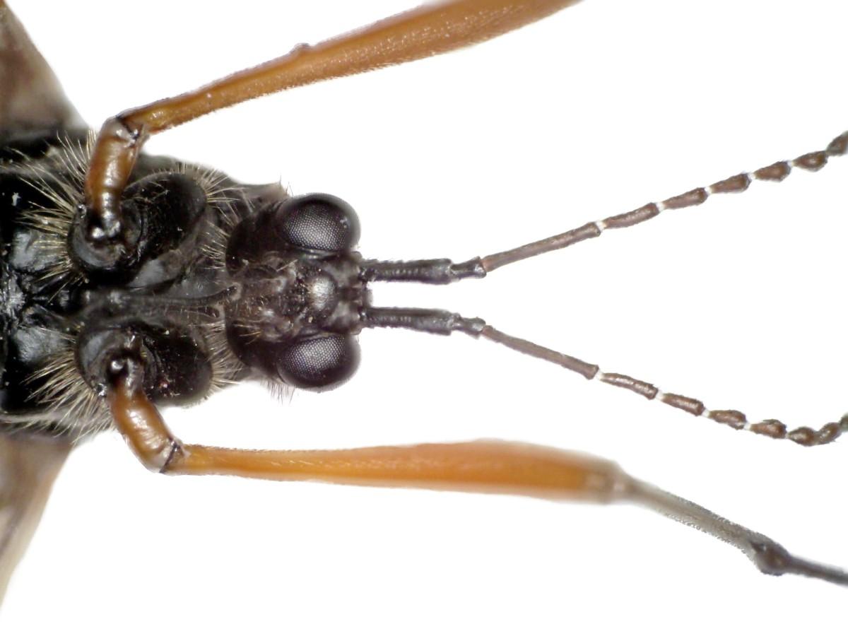 Schwarze Kammschnake 19