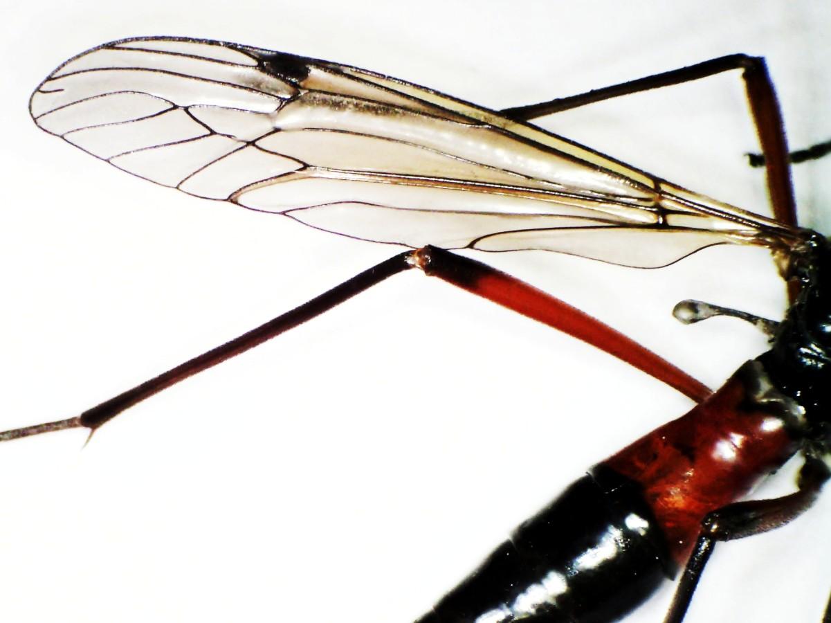 Schwarze Kammschnake 25