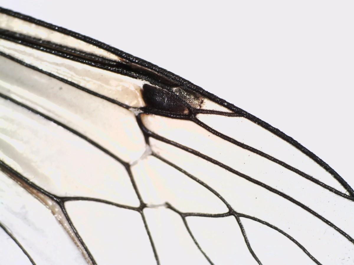 Schwarze Kammschnake 28