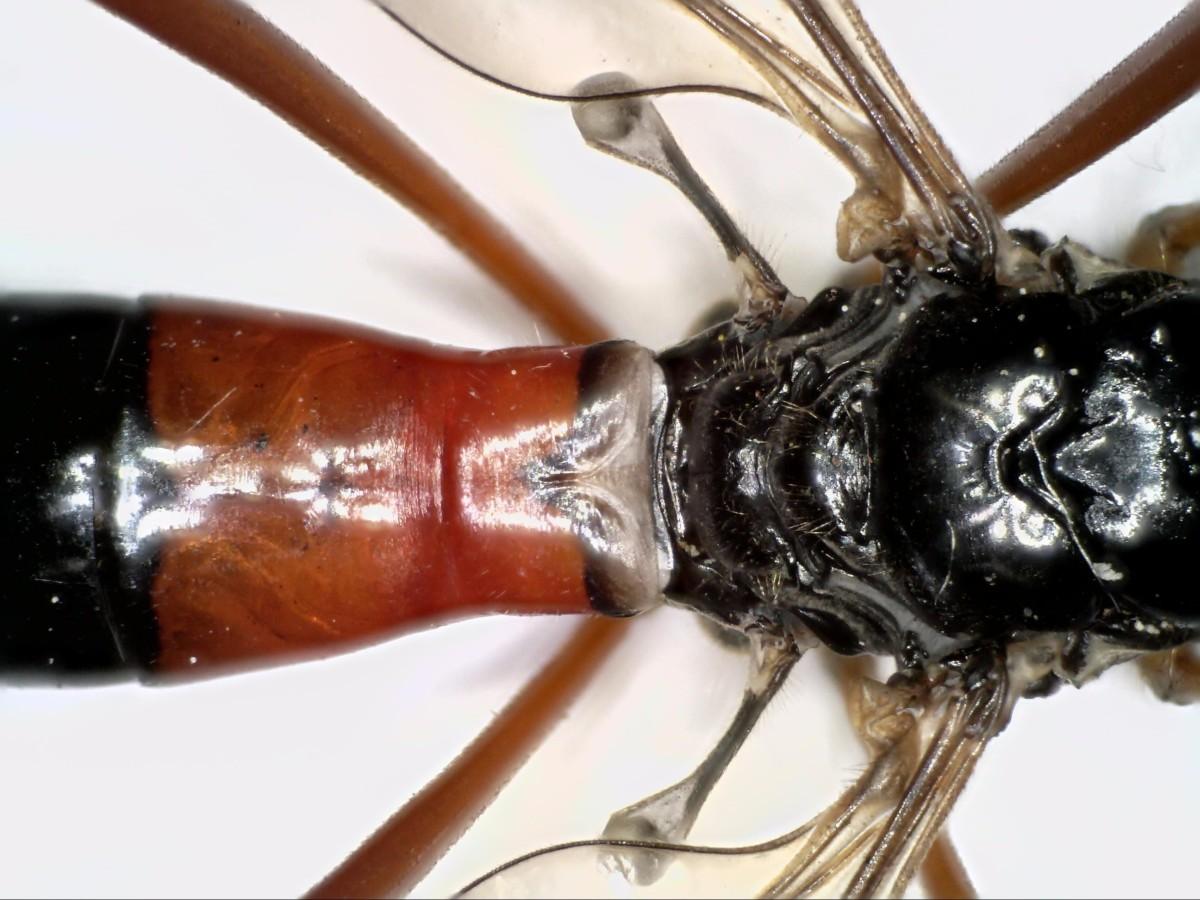 Schwarze Kammschnake 31