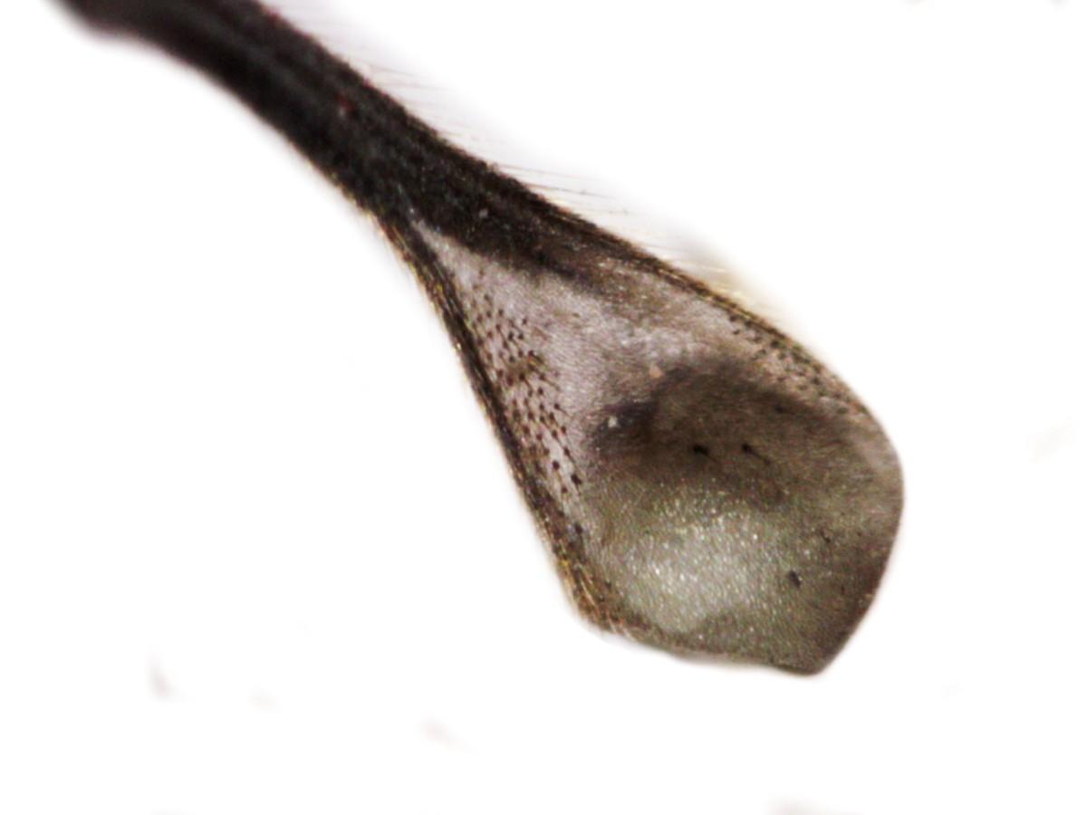 Schwarze Kammschnake 34