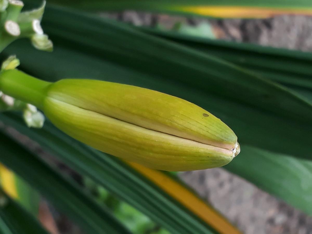 Taglilien