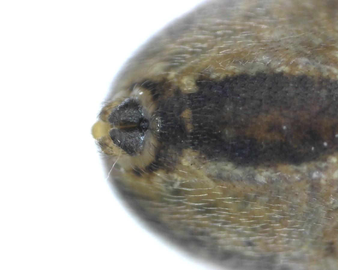 Herbstspinne Metellina segmentata
