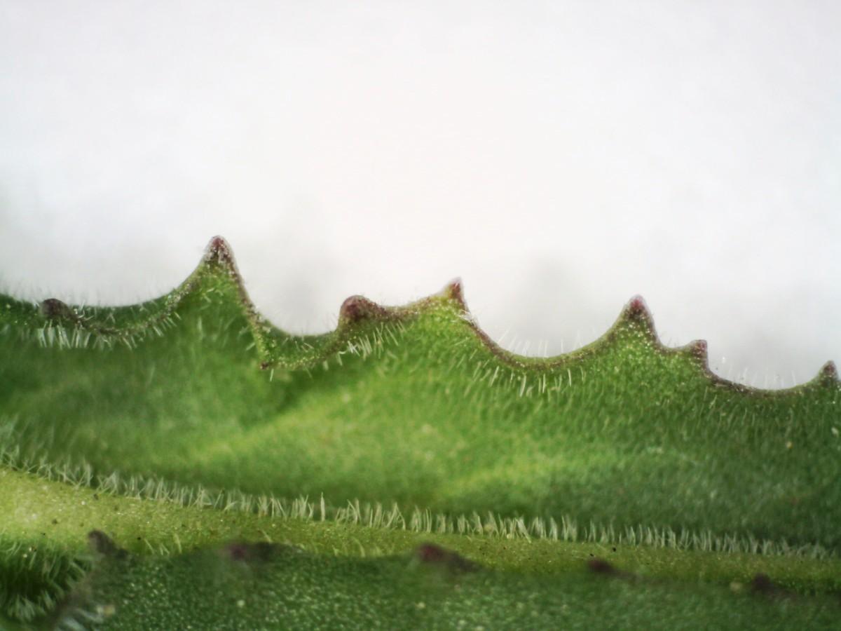 Feld-Kresse