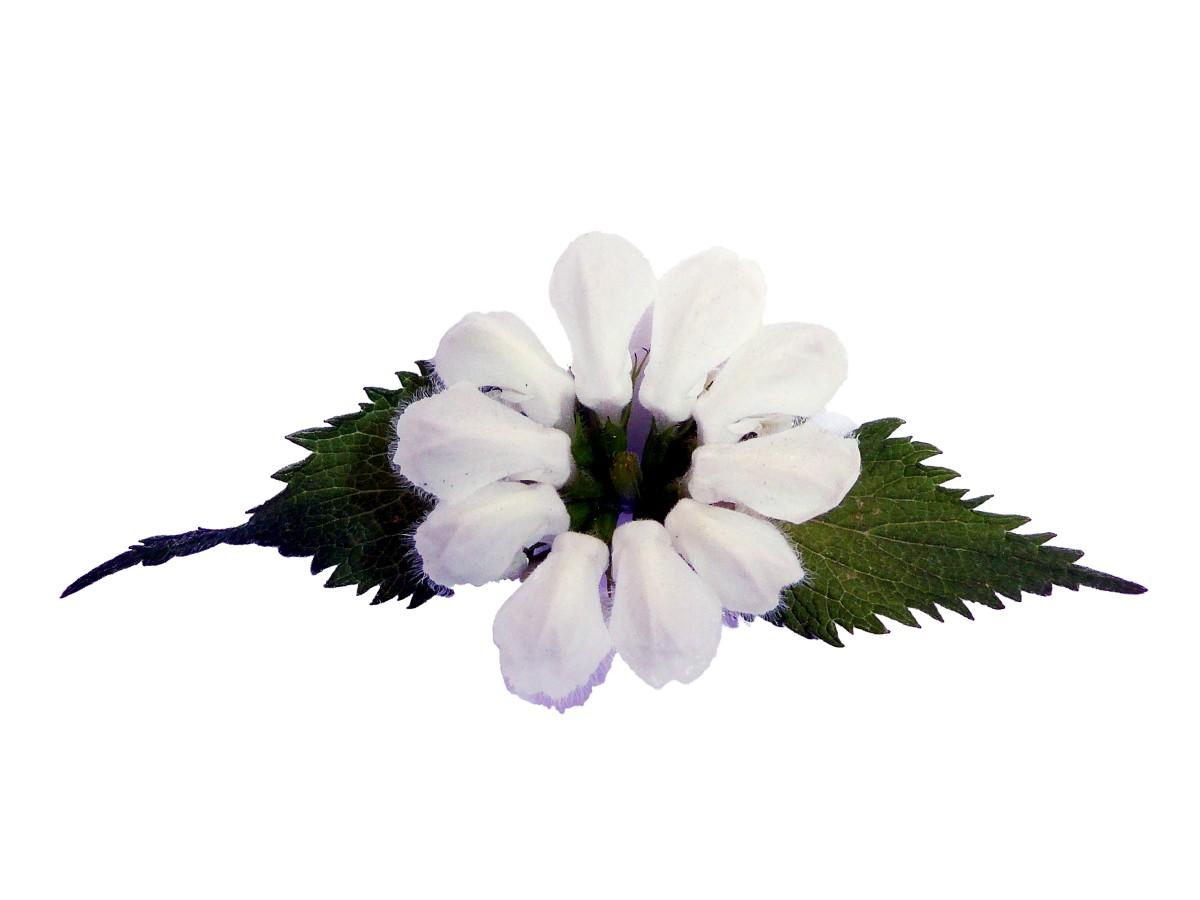 Weiße Taubnessel
