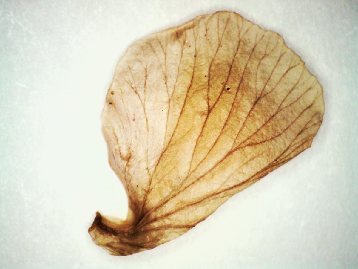 Bach- oder Sumpf-Nelkenwurz