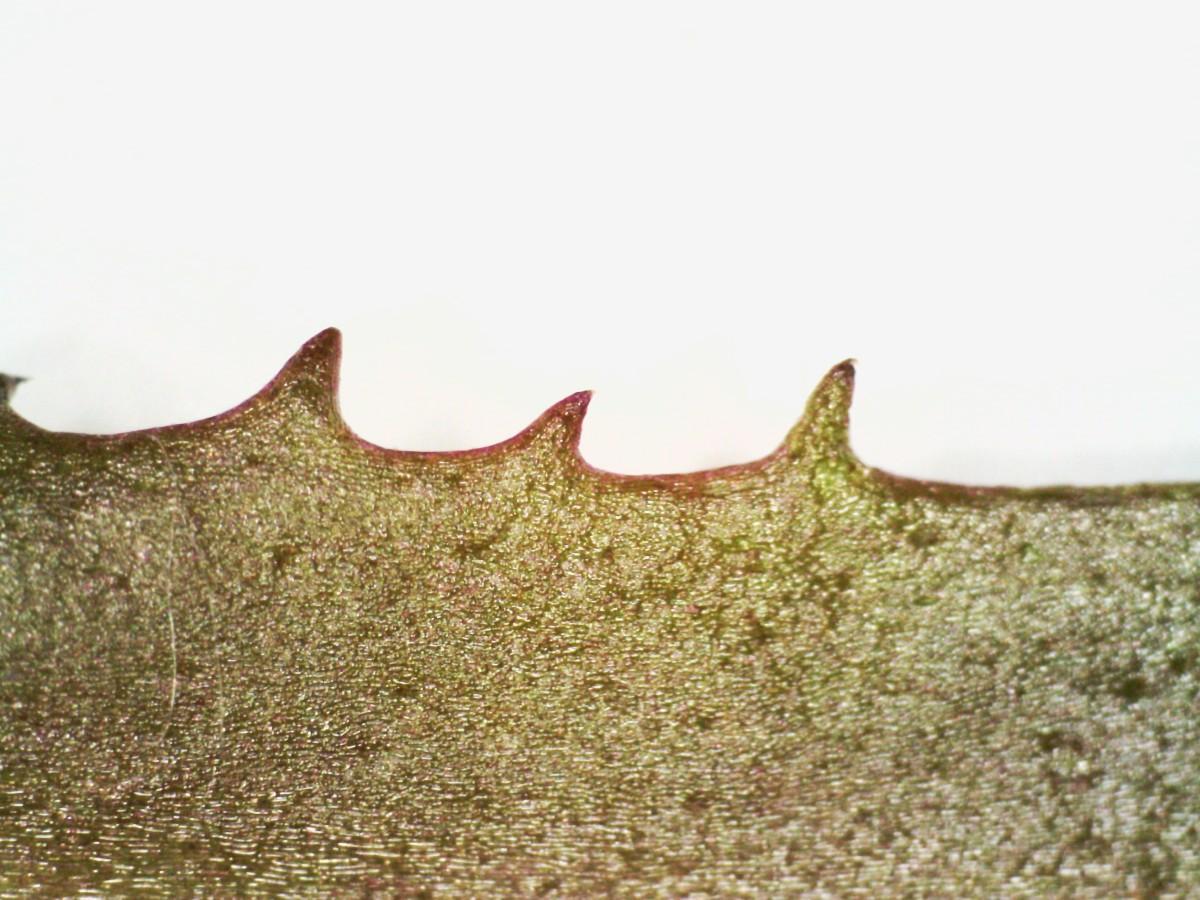 Krähenfuß-Laugenblume