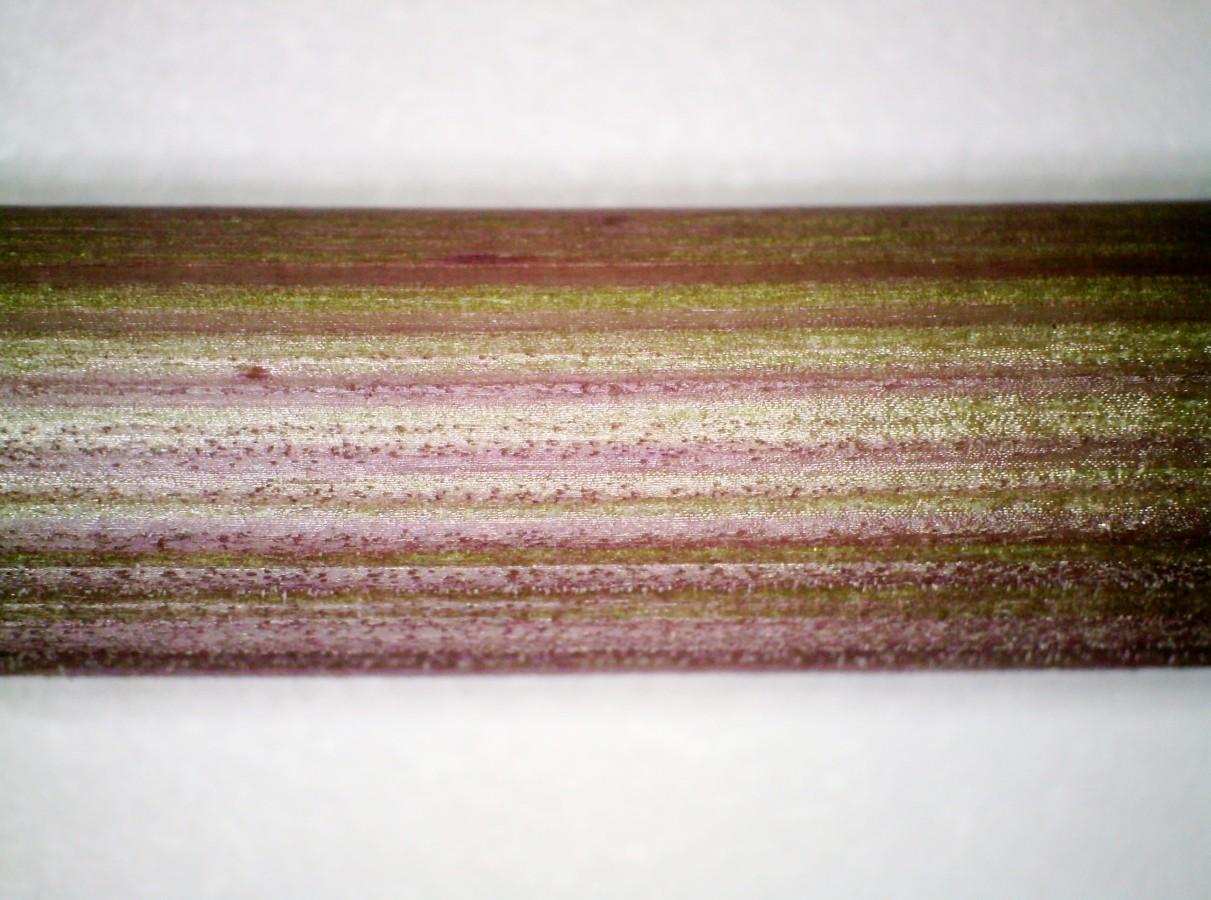Wald-Engelwurz
